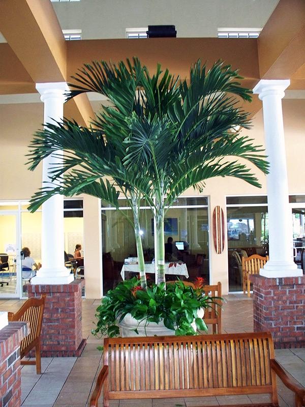 Interior Plant Service Adonidia Tree