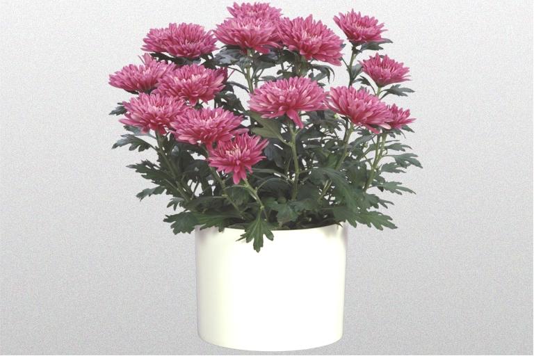 Chrysanthemum Maroon